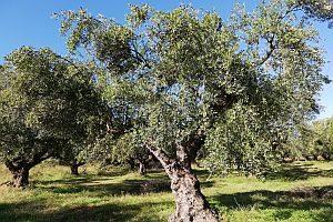 smaki-grecji.pl drzewo oliwne